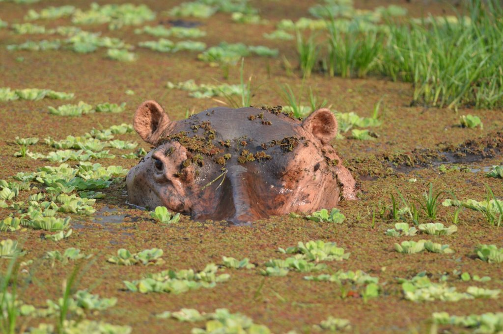 The campsite's resident hippo.