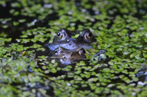 Intruding on the frogs...