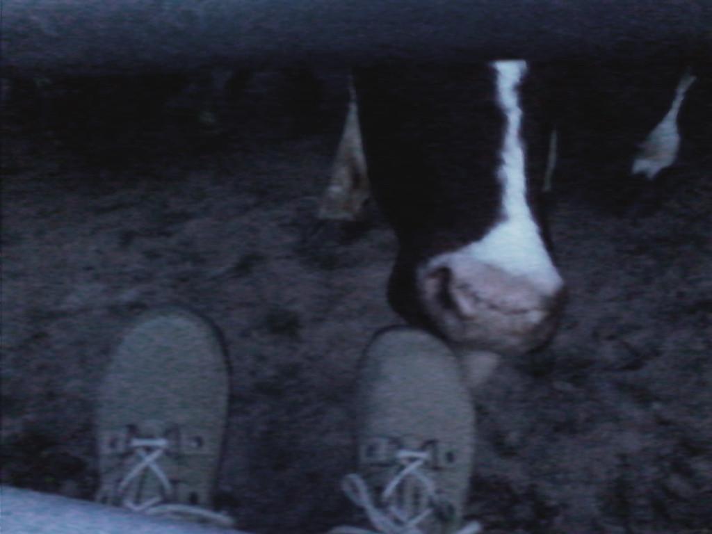 Cows feet