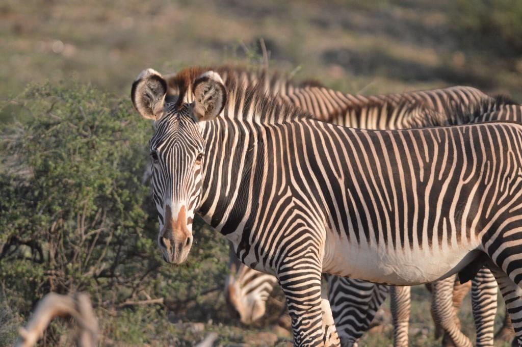 Zebras watching us mere humans