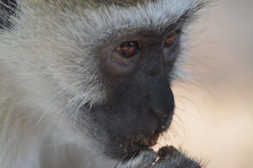Monkey eating sand...