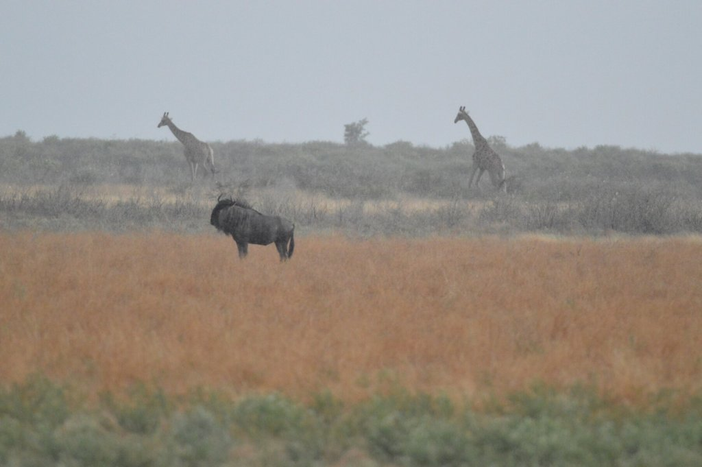 Giraffe behind wildebeest - all behind a curtain of rain