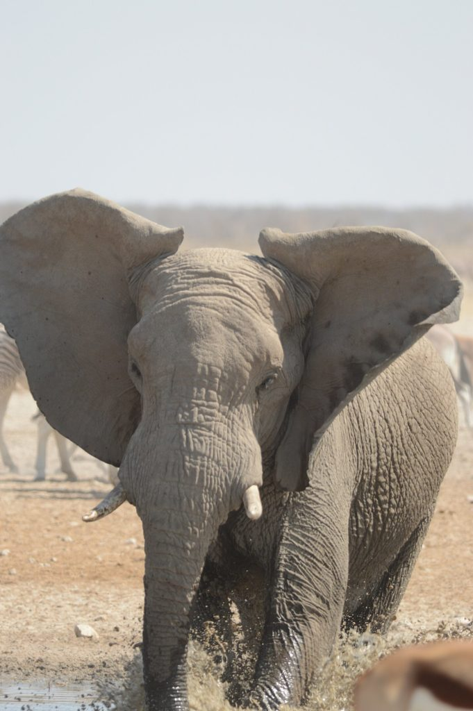 Etosha: Elephant hogging the waterhole.
